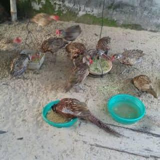 Ban chim trĩ loại 4 tháng tuổi của karrikkarrik tại Quảng Nam - 1860943