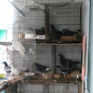 Bồ câu của nguyetxuan3 tại Shop online, Quận Tân Phú, Hồ Chí Minh - 3852386