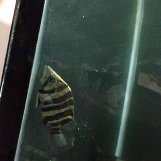 Cá hổ indo 4s của fishshop tại Bình Thuận - 2995662