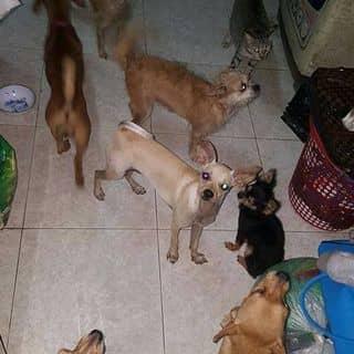 Cần mua 1 bé chó con của kendy03 tại Hồ Chí Minh - 1480806