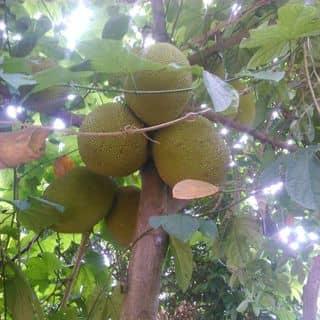 Cây nhà lá vườn của phamchinh81 tại Shop online, Huyện Bình Lục, Hà Nam - 4038562