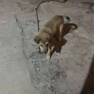 Chó con của nguyendanh172 tại Thừa Thiên Huế - 3320615