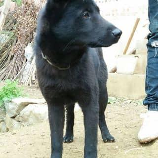chó hmong cọc  của vulong152 tại Hà Giang - 3389140