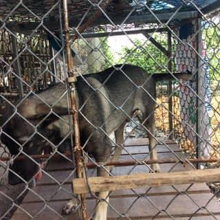 Chó Lai becgie ..( Tây ) của sonvkiu tại Kiên Giang - 2158356