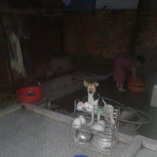 Chó mắt xanh có xoáy lưng và móng neo rất nhiều của nguyentu1191 tại Shop online, Quận Tân Phú, Hồ Chí Minh - 3751288
