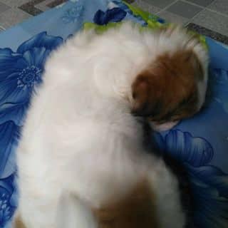 Chó nhật lông xù của hoabinh1969 tại Hồ Chí Minh - 3465319