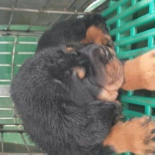 Chó rottweiler 2 thánh của cacloaisenda tại Hồ Chí Minh - 2721082