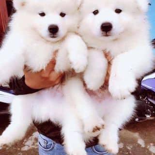 Chó samoyed 3 tháng tuổi của dangquang101 tại Lâm Đồng - 3771246