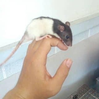 Chuột Rat của vuhac1 tại Hồ Chí Minh - 2116903