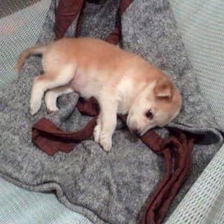 Cún con của trannhi327 tại Trà Vinh - 3372198