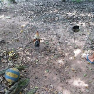 Gà đá của bebi55 tại Trung Lập, Huyện Củ Chi, Hồ Chí Minh - 3304946