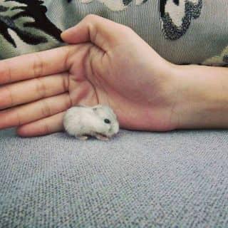 Hamster baby của duonggiathinh tại Trà Vinh - 3114212