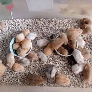 Hamster cute của xuanhung1204 tại Hồ Chí Minh - 3454403
