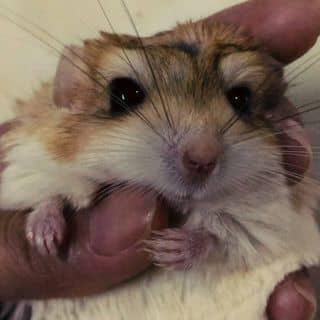 Hamster đuôi mập của hamsterlozi tại Hồ Chí Minh - 3460182