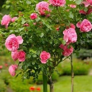 💖Hạt giống hoa thu hải đường💖   của thomdinh2 tại Bắc Kạn - 3288047