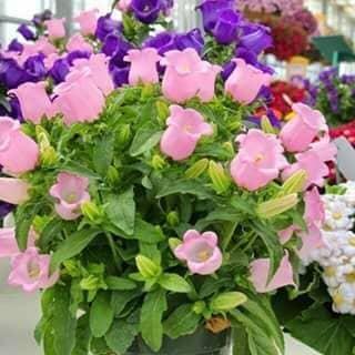 Hạt giống hoa triệu chuông của vuphung4 tại Thái Bình - 2114260