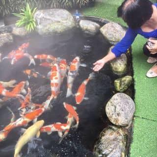 Hồ cá KOI của gemibea2205 tại 222 Đội Cung, phường 9, Quận 11, Hồ Chí Minh - 4260135