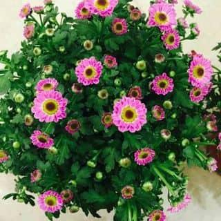 Hoa chậu xinh của hoangphuong152 tại Cầu Yên Biên 1, Thị Xã Hà Giang, Hà Giang - 1266146