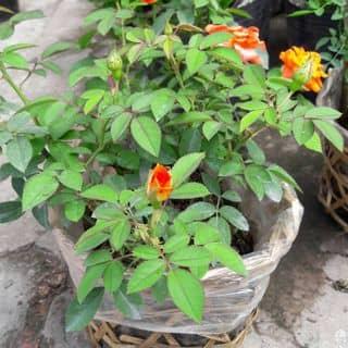 Hoa hồng mini của mydungtran4 tại Vĩnh Long - 2113523