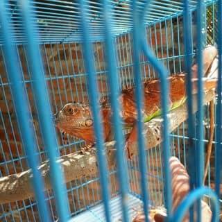 Iguana  red 01628947097 của nguyenthanhphong50 tại Thành Phố Tuy Hòa, Phú Yên - 3372531