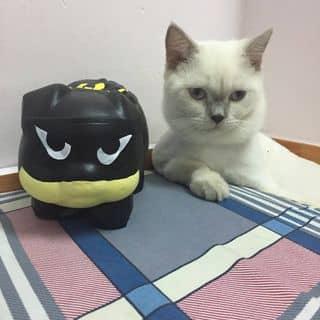 Mèo anh Lông ngắn màu hima của linhchi1580 tại Hồ Chí Minh - 2885995