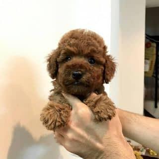 Pom&Poodle Thái của binbon_dogshop tại Hồ Chí Minh - 3442861