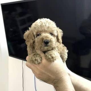 Poodle Thái của binbon_dogshop tại Hồ Chí Minh - 3381049