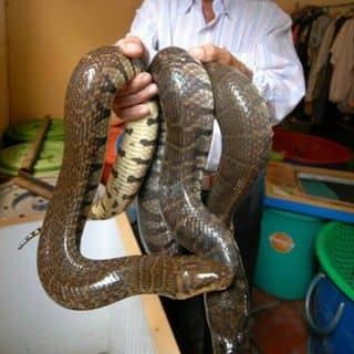 Rắn ri voi của nguyenthang653 tại Đồng Tháp - 2163426