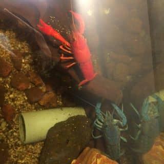Tôm Đỏ+xanh biển của kikbeat tại Phú Yên - 2238301